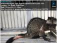 Badly injured civet abandoned in cage at Bedok HDB block, later euthanised: Acres