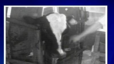 Cow Abuse Caught On Tape