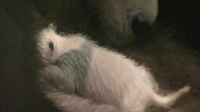 Raw Video: 13-day old baby panda makes debut