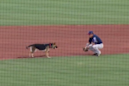 Very good doggo interrupts minor league baseball game for some fetch