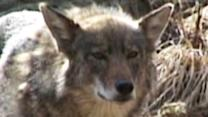Coyotes Coming Out of the Wild and Into Neighborhoods
