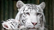Raw Video: Zoo shows off rare white tiger cubs