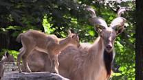 Bronx zoo shows off rare endangered goats