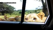 Chivarly is terrifying: Lioness opens car door for tourists