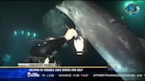 Amazing video: Dolphin in trouble asks divers for help