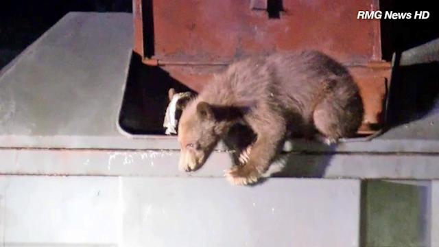 Bear caught on tape trying to rescue cub from trash bin in Azusa
