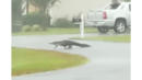 Alligator Casually Strolls Through Myrtle Beach-Area Neighborhood During Florence
