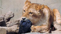 Wild Animals Help Make Designer Jeans